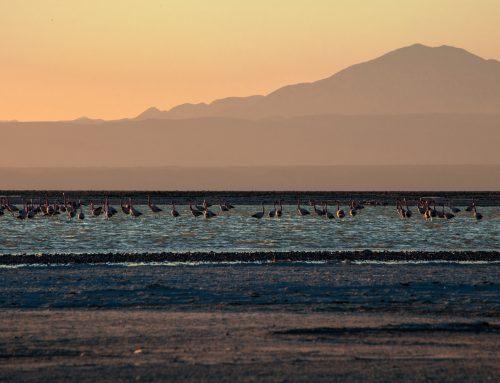 Andes Flamingos